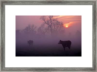 Cows At Sunrise Framed Print by Meirion Matthias