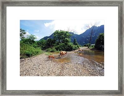 Cows Crossing River In Vietnam Framed Print by Thepurpledoor