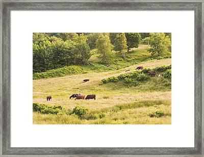 Cows Grazing In Field Rockport Maine Framed Print by Keith Webber Jr
