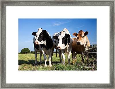 Cows Framed Print by Jane Rix