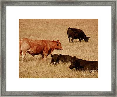 Cows Framed Print by Methune Hively