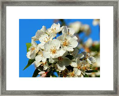 Crab Apple Blossom Macro 001 Framed Print by Lance Vaughn