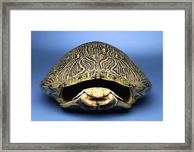 Crab Inside Of Empty Turtle Shell Framed Print by Jeffrey Hamilton