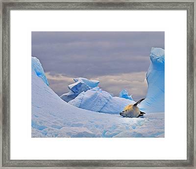 Crabeater On Ice Framed Print by Tony Beck