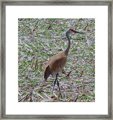 Crane In Corn Field Framed Print by Todd Sherlock
