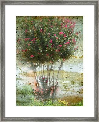Crape Myrtle Framed Print by Debbie Portwood