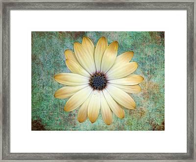 Cream Coloured Daisy Framed Print by Chris Thaxter