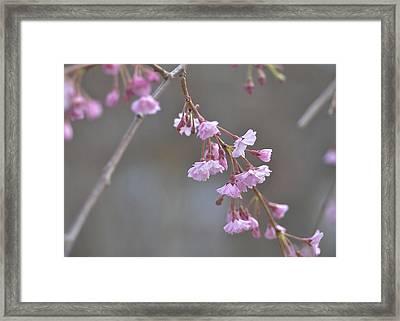 Crepe Myrtle Framed Print by Lisa Phillips