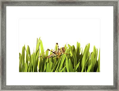 Cricket In Wheat Grass Framed Print by Pascal Preti