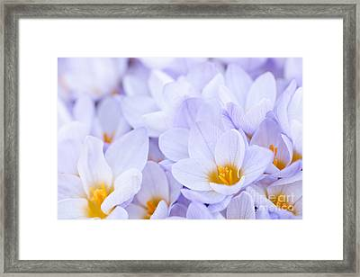 Crocus Flowers Framed Print by Elena Elisseeva