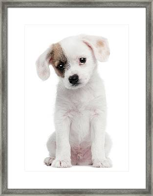 Cross Breed Puppy (2 Months Old) Framed Print by Life On White