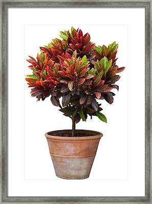 Croton Tree In Flowerpot Framed Print by Atiketta Sangasaeng