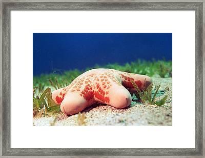 Cushion Star (choriaster Granulatus) Framed Print by Georgette Douwma