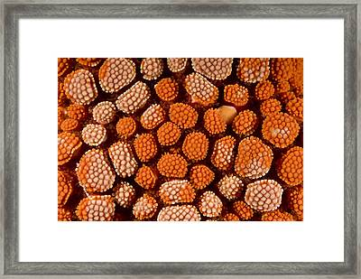 Cushion Starfish Framed Print by Matthew Oldfield