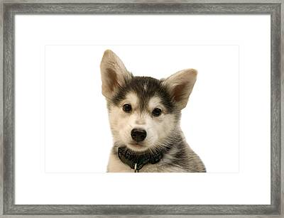 Cutout Portrait Of Cute Husky Dog Puppy Framed Print by Jupiterimages
