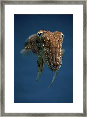 Cuttlefish Framed Print by Stavros Markopoulos