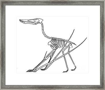 Cycnorhamphus Suevicus Framed Print by Science Source