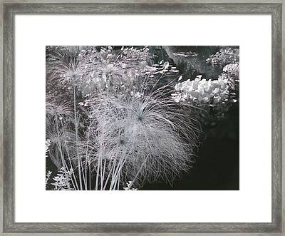 Cyperus Papyrus Framed Print by Christine Till