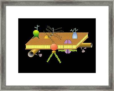 Cytoskeleton And Membrane, Artwork Framed Print by Francis Leroy, Biocosmos