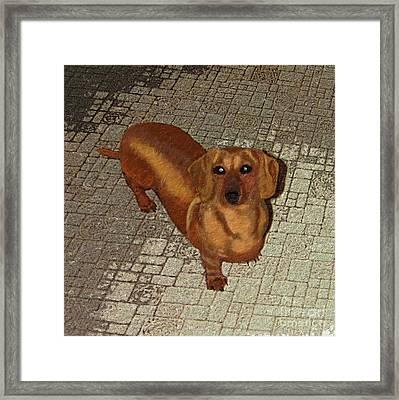 Dachshund - Cinnamon Framed Print by L J Oakes