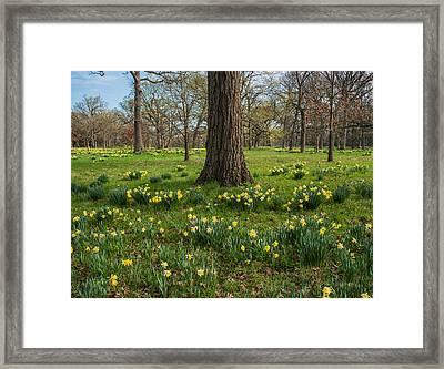 Daffodil Glade Number 2 Framed Print by Steve Gadomski