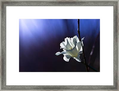 Daffodil Light Framed Print by Lori Coleman