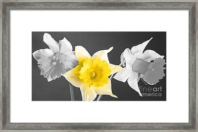 Daffodil Trio  Framed Print by Cheryl Young