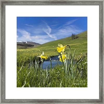 Daffodils  In Cezallier. Auvergne. France Framed Print by Bernard Jaubert