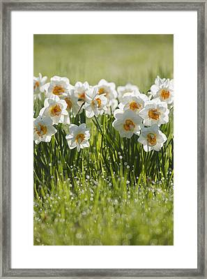 Daffodils In The Dew Covered Grass Framed Print by Susan Dykstra