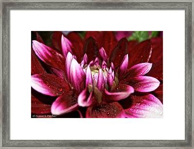 Dahlia Delight Framed Print by Susan Herber