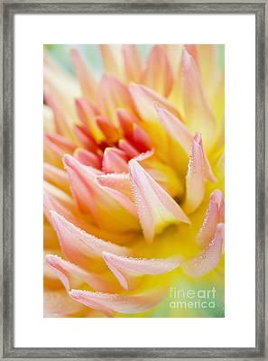 Dahlia Flower 04 Framed Print by Nailia Schwarz