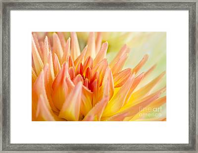 Dahlia Flower 06 Framed Print by Nailia Schwarz