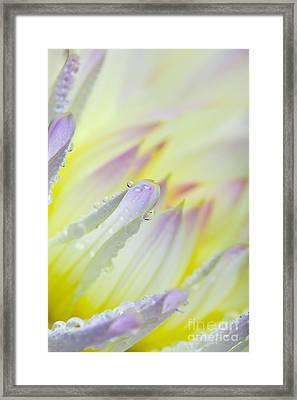 Dahlia Flower 07 Framed Print by Nailia Schwarz