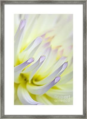 Dahlia Flower 09 Framed Print by Nailia Schwarz