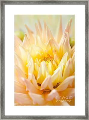 Dahlia Flower 10 Framed Print by Nailia Schwarz