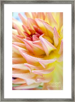 Dahlia Flower 13 Framed Print by Nailia Schwarz