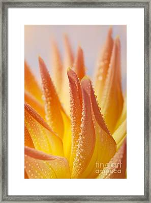 Dahlia Flower 14 Framed Print by Nailia Schwarz