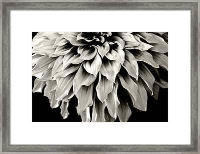 Dahlia Flower  Framed Print by Sumit Mehndiratta