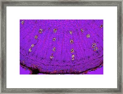 Dahlia Tuber, Light Micrograph Framed Print by Dr Keith Wheeler