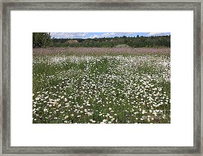 Daisies And Purple Flowers Framed Print by Jim Sauchyn