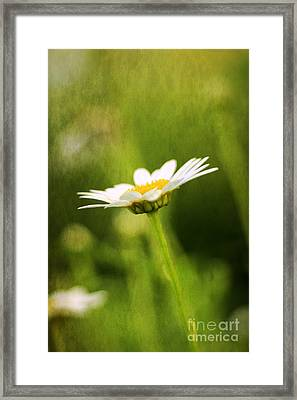 Daisy Framed Print by Darren Fisher