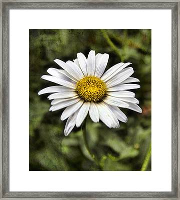 Daisy Dazzle Framed Print by Peter Chilelli