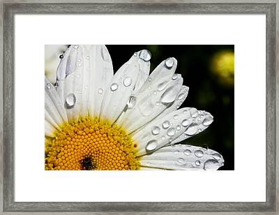 Daisy Drops Framed Print by Rick Berk