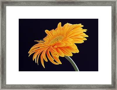 Daisy Of Joy Framed Print by Juergen Roth