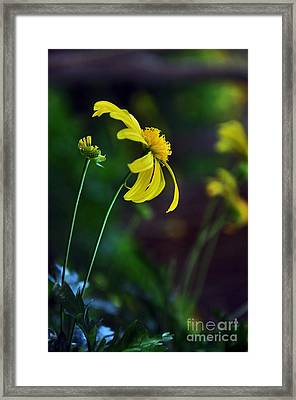 Daisy Profile Framed Print by Kaye Menner