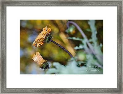Daisy With Curls Framed Print by Kaye Menner
