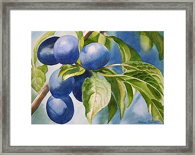 Damson Plums Framed Print by Sharon Freeman