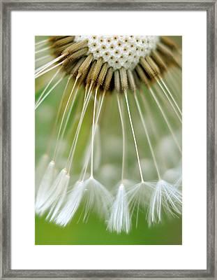 Dandelion Seeds Framed Print by Laurianne Garraud