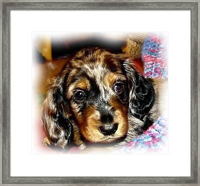 Dapple Dachshund Pup Framed Print by Victoria Sheldon