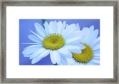 Darling Daisies Framed Print by Becky Lodes